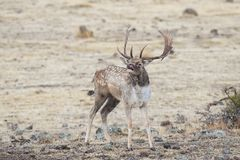 Fallow deer roars Royalty Free Stock Photos