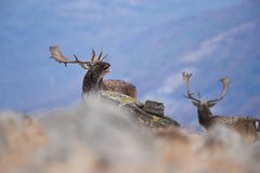 Fallow deer roars Royalty Free Stock Images