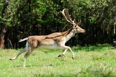 Fallow deer Stock Images