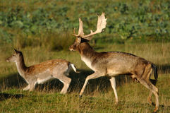 Fallow deer running Royalty Free Stock Image