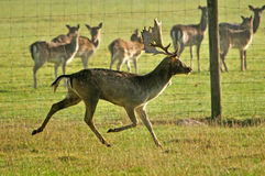 Fallow deer running Royalty Free Stock Photography