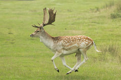 Fallow deer running royalty free stock photo