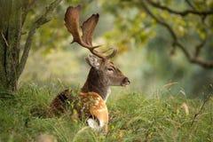 Fallow deer. During the rutting season stock photos