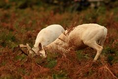 Fallow Deer in rutting season Stock Photos