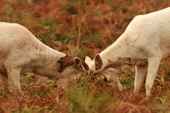 Fallow Deer in rutting season Stock Images