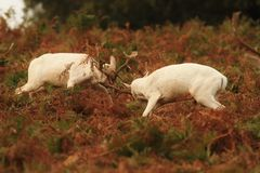 Fallow Deer in rutting season Royalty Free Stock Photography