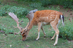 Fallow deer during the rutting season Royalty Free Stock Photography