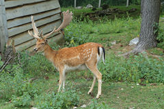 Fallow deer during the rutting season Royalty Free Stock Images
