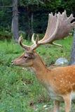 Fallow deer during the rutting season Stock Images