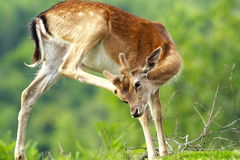 Fallow deer scratching because of flies and ticks Stock Photos