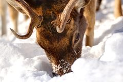 Fallow deer searching for food. Under the big snow royalty free stock image