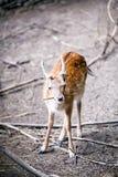 Fallow deer. Stock Images