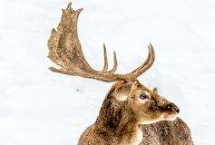Fallow Deer Side VIew stock photo