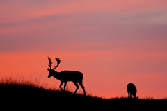 Fallow deer silhuette. Fallow deer silhuette with a colorful sunset Royalty Free Stock Image