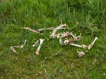 Fallow deer skeleton Stock Image