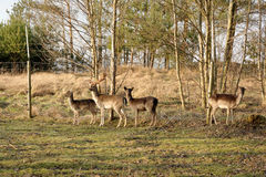 Fallow deer. Small pack of fallow-deers keept  in fence on Polish country Royalty Free Stock Photo