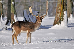 Fallow deer in snow Stock Images