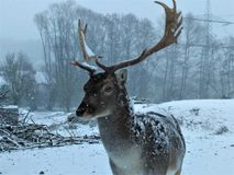 Fallow deer in the snow coming close stock image