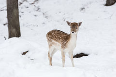 Fallow deer in the snow Royalty Free Stock Image