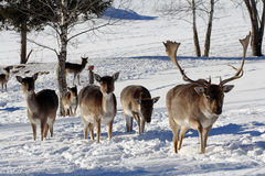 Fallow deer in the snow Royalty Free Stock Photo