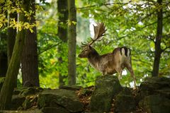 Fallow deer spotted comes from the Mediterranean region and Asia minor. Photo was taken in the Czech Republic royalty free stock photography