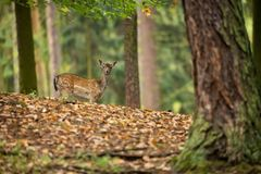Fallow deer spotted comes from the Mediterranean region and Asia minor. Photo was taken in the Czech Republic royalty free stock photo