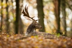 Fallow deer spotted comes from the Mediterranean region and Asia minor. Stock Images