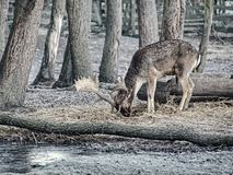 Fallow deer spotted searches corns in falling autumn leaves. Fallow deer spotted in enclosure searches the falling autumn leaves and looks for the fallen acorns stock images