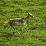 Fallow deer with spotted summer coat moving fast. Late spring fallow deer, Dama dama, of the cervini tribe. These magnificent deer are gorgeous in there spotted stock image
