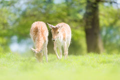 Fallow Deer In Springtime Stock Photos