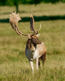 Fallow Deer Stag. Fallow Deer Male standing in meadow watching herd from a distance stock photography