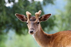 Fallow deer stag. Looking at the camera Royalty Free Stock Image