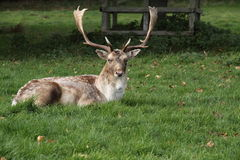 Fallow deer stag. Laying down int autumn grass Stock Photos
