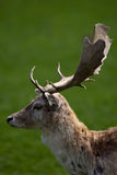 Fallow Deer Stag. Close up view of a Fallow Deer Stag Royalty Free Stock Photo