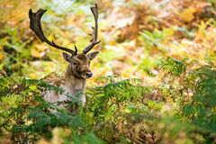 Fallow Deer. Stag against a background of sunlit bracken royalty free stock photos