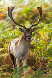 Fallow Deer. Stag against a background of sunlit bracken royalty free stock photography