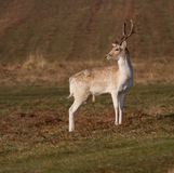 Fallow Deer Stag, at Bradgate Park, Leicestershire Royalty Free Stock Images