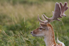 Fallow Deer Stag, at Bradgate Park, Leicestershire Royalty Free Stock Photo