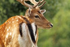 Fallow deer stag close up. Fallow deer stag ( Dama ) close up, selective focus over green forest background royalty free stock photo