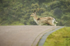 Fallow deer stag crossing a road Royalty Free Stock Photo
