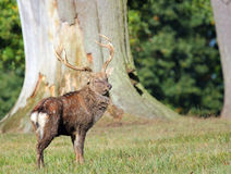 Fallow deer stag. (dama dama) Stock Image