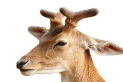 Fallow deer stag isolated on white Stock Photo