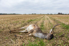 Fallow Deer Stag Laying Dead in a Field Stock Photography