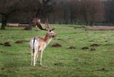Fallow deer stag in park land. Stock Photography
