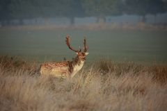 A fallow deer stag during the rut stock images