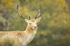 Fallow deer stag rutting in Autumn Stock Images