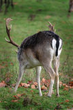 Fallow Deer Stag showing easily identifiable rump markings. Stock Photography