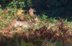 Fallow Deer Stag in Undergrowth. During the Autumn breeding season royalty free stock photos