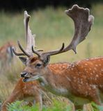 Fallow Deer Stag Royalty Free Stock Photo