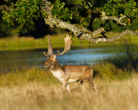 Fallow Deer Stag Walk By Lake At Sunset Royalty Free Stock Image